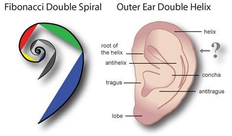 ear & fibonacci